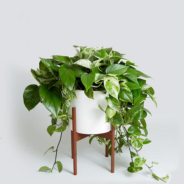 White and green variegated Pothos
