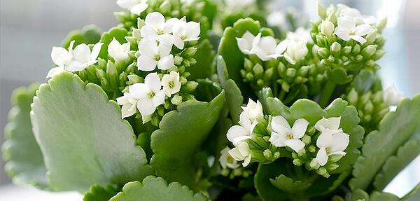 White Kalanchoe blossoms
