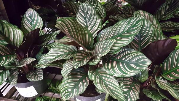 These beautiful leafy green plants are quite striking and make a dramatic addition to any green wall. The light touch of colour in their leaves add depth and interest, and they're easy to maintain too.