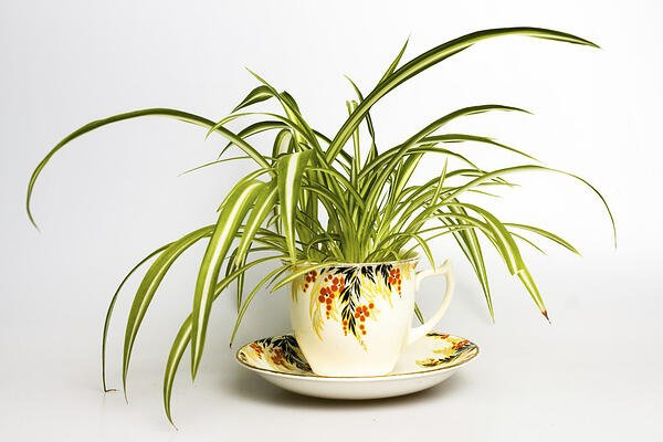 Spider Plant potted in a tea cup