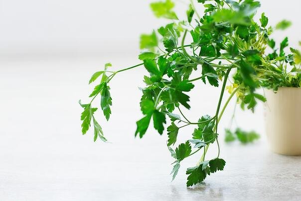 Unlike mint, parsley thrives on direct sunlight! Place your plant in a south-facing window where it is able to receive six to eight hours of light a day.