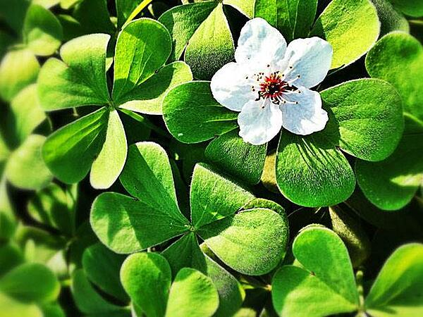 Blossoming Shamrock Plant