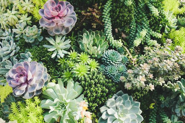 Succulents for green wall design